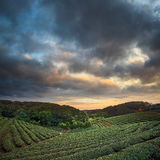 Vale da plantação de chá no céu cor-de-rosa dramático do por do sol em Taiwan imagens de stock royalty free