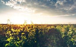 Vale da uva na luz macia do por do sol, vinhedo crescente, paisagem rural pitoresca Foto de Stock Royalty Free