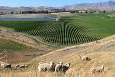 Vale da uva para vinho de Nova Zelândia Fotografia de Stock Royalty Free