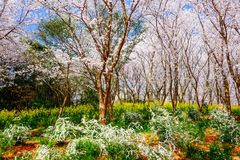 Vale de Cherry Blossom, wuxi, porcelana Fotografia de Stock