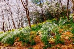 Vale de Cherry Blossom, wuxi, porcelana Imagem de Stock
