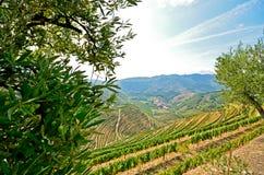 Vale de Douro: Vinhedos e oliveiras perto de Pinhao, Portugal foto de stock royalty free