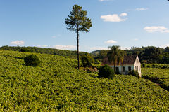 Vale dos Vinhedos Vineyards Bento Goncalves. The vineyards of Vale dos Vinhedos, an araucaria typical pine tree and a country house, city of Bento Goncalves, Rio Stock Photography