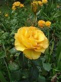 Valencia för Guling-apelsin rosknoppar och blommors', Royaltyfri Foto