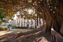 Valencia Glorieta park big ficus tree Spain Stock Image