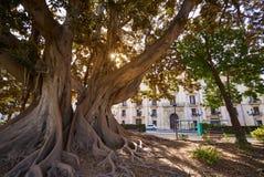 Valencia Glorieta park big ficus tree Spain Stock Photo