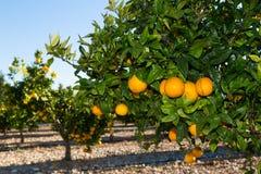 Valencia-Orange Bäume Stockfotografie