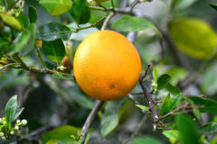 Valencia Orange On Tree 2. A Valencia orange hangs on the tree in Florida with blossoms in background stock photos