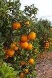 Valencia orange trees Royalty Free Stock Photos