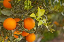 Valencia orange trees Royalty Free Stock Image