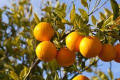 Valencia orange trees Royalty Free Stock Photo