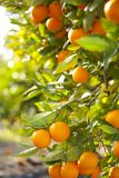 Valencia orange trees Royalty Free Stock Images