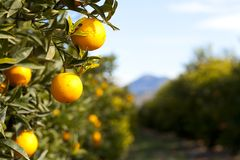 Valencia orange trees Stock Images