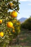 Valencia orange trees Stock Photos