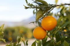 Valencia orange trees Royalty Free Stock Photography