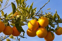 Valencia orange trees Stock Image