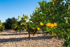 Valencia orange trees Royalty Free Stock Photos