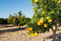 Valencia orange trees Stock Images