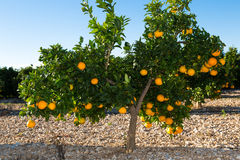 Valencia orange trees Stock Photo
