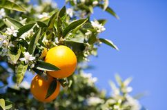 Valencia orange trees Royalty Free Stock Photo