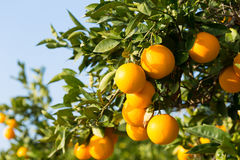 Valencia orange trees Royalty Free Stock Photography