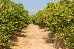 Valencia orange trees Stock Image