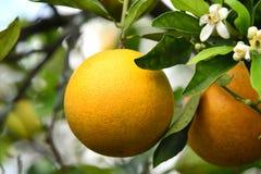 Valencia-Orange und Blüten Lizenzfreie Stockfotografie