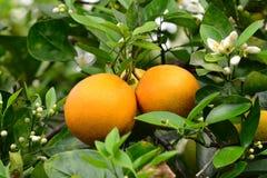 Valencia-Orangen und Blüten Stockfotos