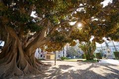 Valencia Parterre park big ficus tree Royalty Free Stock Photo