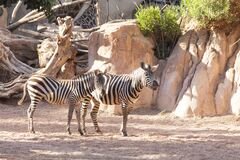 Free Valencia, Spain,3,6,2014: Zebra At The Bioparc In Valencia Royalty Free Stock Photo - 181752885