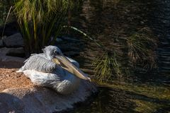 Grey Pelican at the Bioparc in Valencia Spain on February 26, 2019 stock photos