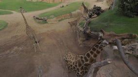 Giraffes aviary in Valencia Biopark, Spain. Valencia, Spain - July 15 2016: Giraffes in Valencia Biopark. People feeding and stroking animals. 10-hectare zoo stock video