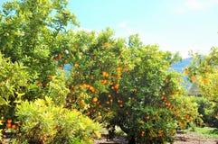 Valencian апельсины field с горами на задней части Стоковые Фото