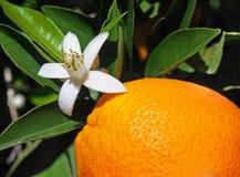 Valencian apelsin och apelsinblomningar spain Vår Royaltyfria Foton