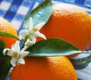 Valencian apelsin och apelsinblomningar spain Vår Arkivfoton