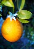 Valencian apelsin och orange blomningar, Spanien Arkivbild