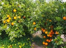 Valencian apelsin och orange blomningar, Spanien Arkivbilder