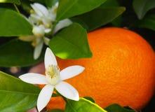 Valencian apelsin och orange blomningar, Spanien Royaltyfria Foton