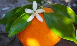 Valencian apelsin och orange blomningar, Spanien Royaltyfri Fotografi