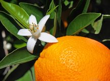 Valencian orange and orange blossoms. Spain. Spring. Valencia Royalty Free Stock Photos