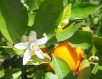 Valencian orange and orange blossoms. Spring. Spain. Valencian orange and orange blossoms. Spring. Valencia. Spain Royalty Free Stock Image
