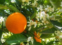 Valencian orange and orange blossoms. Spring. Spain. Valencian orange and orange blossoms. Spring. Valencia. Spain Stock Photography