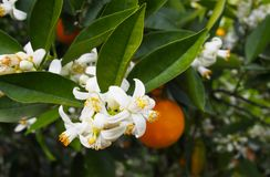 Valencian orange and orange blossoms. Spring. Spain. Valencian orange and orange blossoms. Spring. Valencia. Spain Stock Images