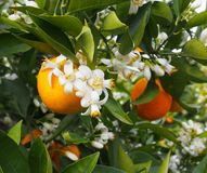 Valencian orange and orange blossoms. Spring. Spain. Valencian orange and orange blossoms. Spring. Valencia. Spain Stock Image