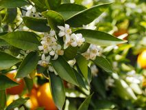 Valencian orange and orange blossoms. Spring. Spain. Valencian orange and orange blossoms. Spring. Valencia. Spain Royalty Free Stock Photos