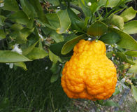 Valencian orange and orange blossoms. Cellulitis. Spain. Valencian orange and orange blossoms. Cellulitis royalty free stock photos
