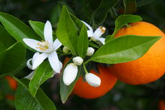 Valencian orange and orange blossoms, Spain Royalty Free Stock Photography