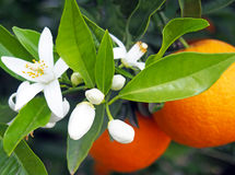 Valencian orange and orange blossoms, Spain Stock Photos