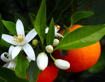Valencian orange and orange blossoms. Spain Stock Photography