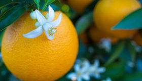 Valencian orange and orange blossoms. Stock Image